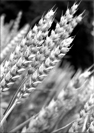 Photo pour dessiner un épi de blé ou des épis de blés